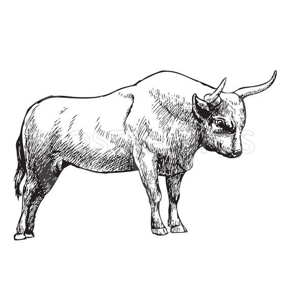 hand drawn illustration of bull