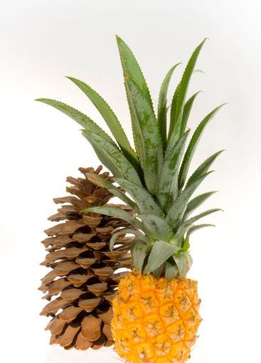The Pineapple and the Cedar cone