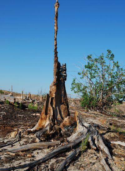 Old burnt stump