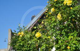 Gatubild med gula rosor i närbild från sommarstaden...