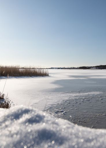 Frozen sea with reeds on a sunny winters day.