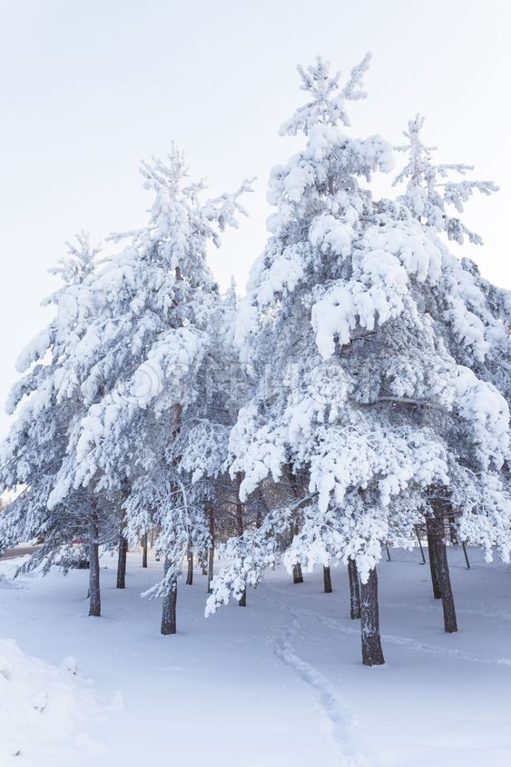 Trees full of snow