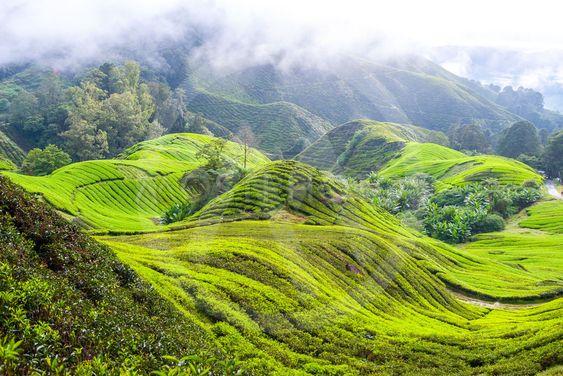 Tea plantation in Cameron Highlands, Malaysia