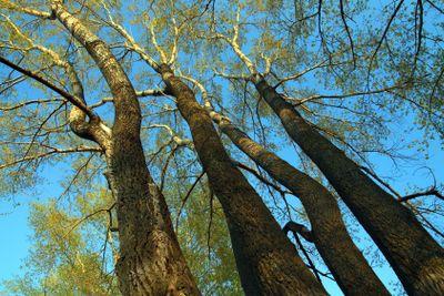 tall poplar trees