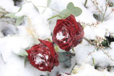 Two red  roses in the snow