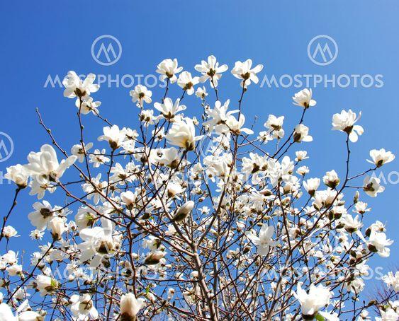 Foran magnolia