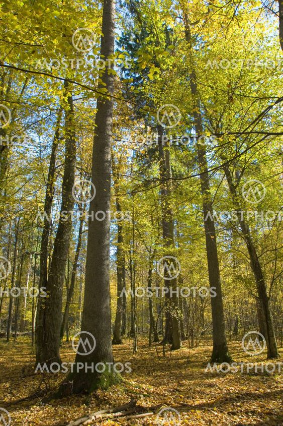 Autumnal mixed forest with dry leaves
