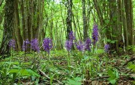 Blommande orkideer i Vanserum - Bäck naturreservat