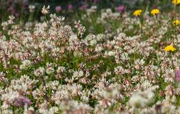 White clover on the ground, summer meadow.