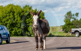 Pregnant Feral Donkey