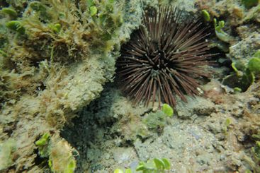 An underwater photo of a Sea Urchin.