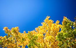 Bright autumn sunny day yellow leaves against blue sky