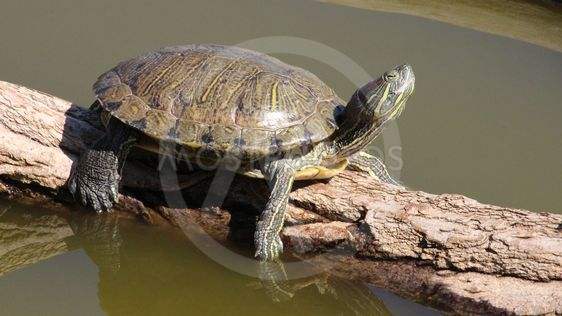 A Red-eared slider turtle b