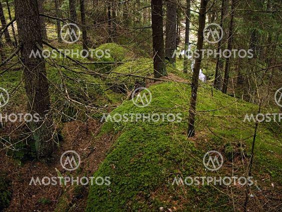 Jalokuuset metsien