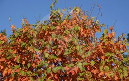 colorful autumn leaves on tree in front of azure blue...