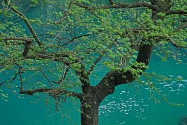 Green tree in the Provence