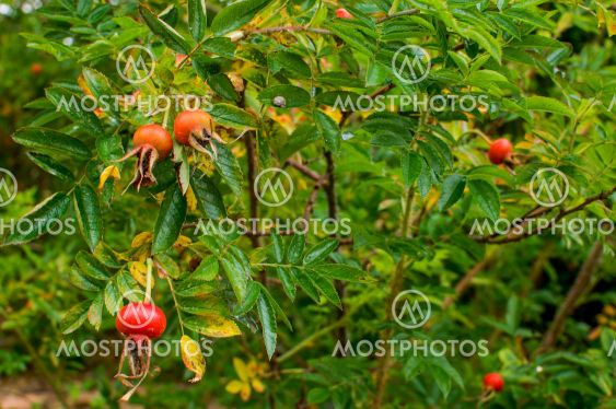 Rosa rugosa, ripening fruit, spherical colored