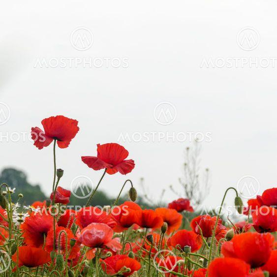 En grupp blommande vallmo