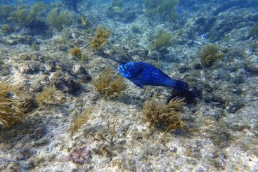 An underwater photo of a Parrotfish