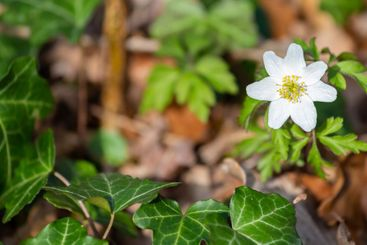 Blooming wood anemone background