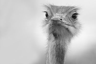 Funny ostrich in black and white