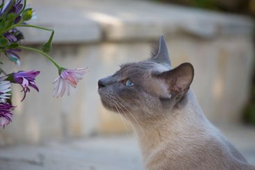 Flower and siamese 2