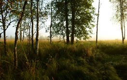 Forest  birch trees in bright dawn sunlight on an early...