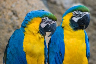 Two yellow and blue parrots