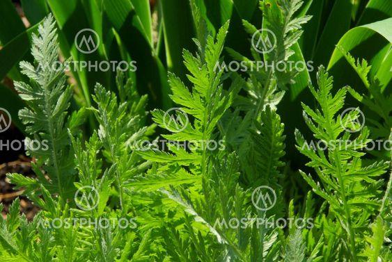 Schafgarbeblatt - leaf from Yarrow 01