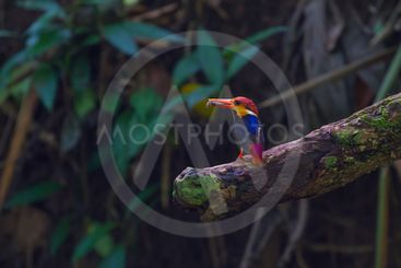 black-backed kingfisher on the branch in nature