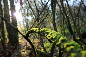 Mossy branch in the forest with back light