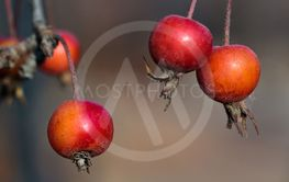 Small red apples