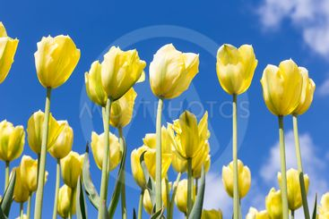 Yellow tulips over blue sky background. Spring season...