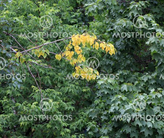 early yellow leafs on green