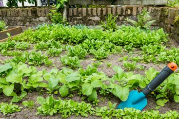 A scoop in the vegetable garden