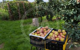crates with elstar apples