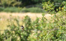 Grå flugsnappare på en tråd