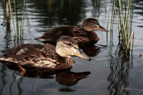 Duck med ven