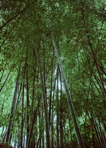 in the middle of a bamboo grove looking up