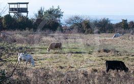 Betande boskap i fågelområdet vid Beijershamn på Öland