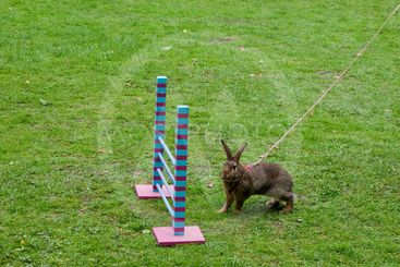 Rabbit in show jumping competition