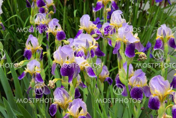 Schwertlilie - iris 40