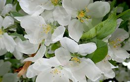 Spring flowering apple tree branch with white flowers as...