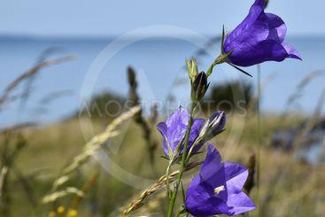 Närbild av blommande blåklockor