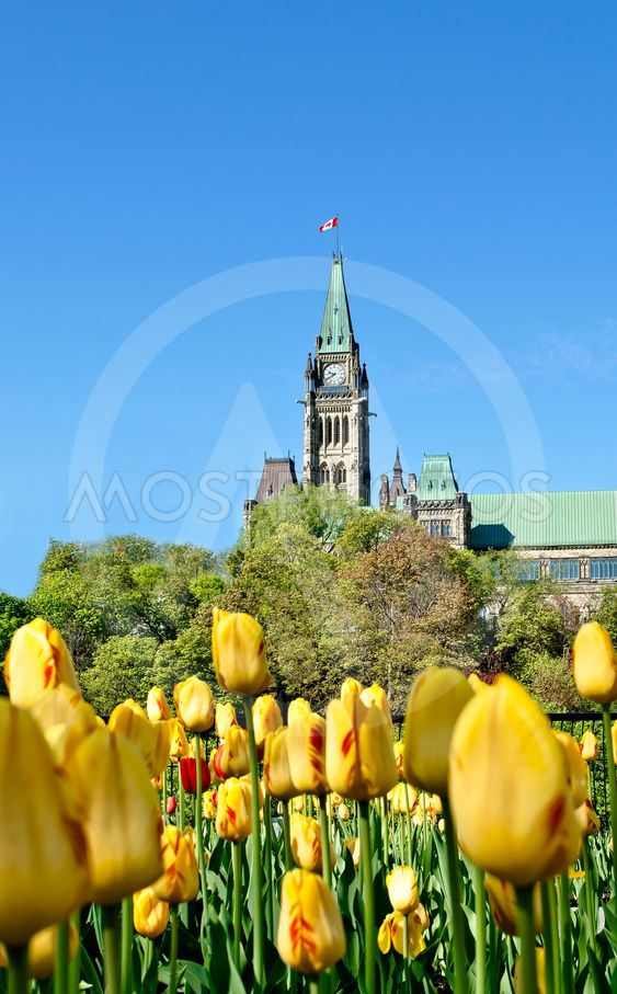 Yellow Tulips on the Hill