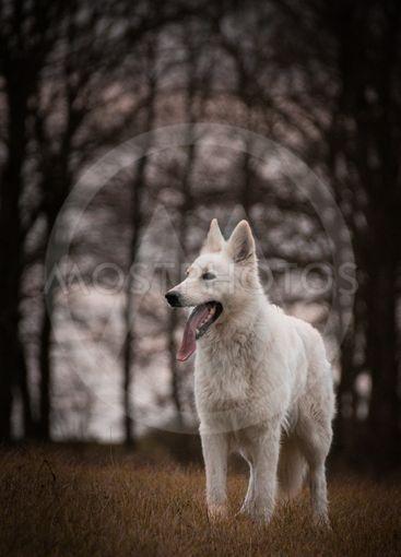 Portrait of white swiss shepherd dog,