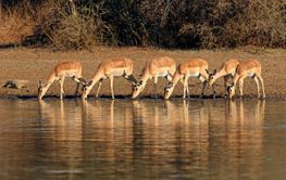 Impala antelopes drinking water - Kruger National Park