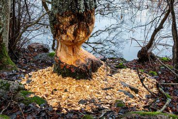 Spår efter bäver som gnagt och bitit ner ett träd.