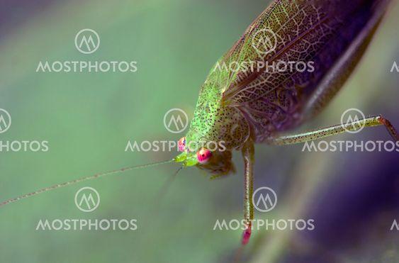 Grasshopper yli lehti, Italia