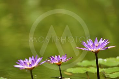 Three lotus flowers